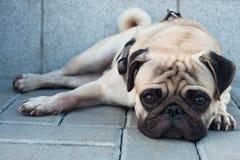 Pug dog. Sad purebred pug dog lying on blocks outdoors and looking at camera Royalty Free Stock Photography