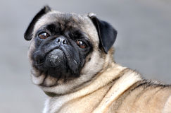 A pug dog. A cute pug, with featured face and big eyes Royalty Free Stock Photography