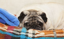 Pug dog Royalty Free Stock Photo