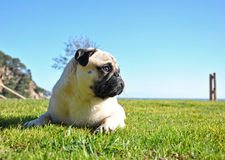 Pug dog Royalty Free Stock Image