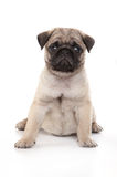 Pug dog. Pug puppy sitting on a white background in a studio Royalty Free Stock Photos