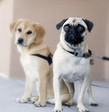 Pug Dog. Worried concerned looking pug dog puppy with labrador royalty free stock image