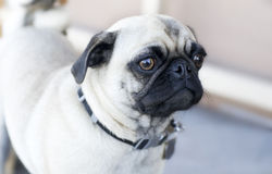 Pug Dog. Worried concerned looking pug dog puppy with big bulging eyes stock photography