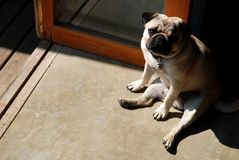 Pug dog. Pug dog sitting sad with copy space Royalty Free Stock Photography