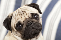 Pug dog adorable expression. Pug dog looking directly at camera with large expressive round eyes and wrinkled frown Stock Photos