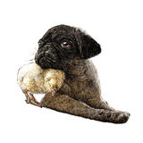 Pug dog ang a chick Stock Images
