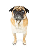 Pug Dog Attentive Expression Standing Looking Forward Stock Photography