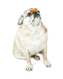 Pug Dog Balancing Treat on Nose Royalty Free Stock Images