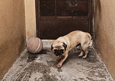 Pug dog and a ball of basketball Stock Photography
