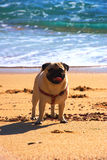 Pug dog in a beach Royalty Free Stock Photo