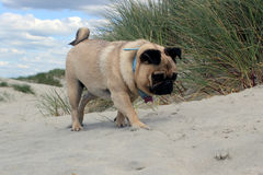 Pug Dog on a beach exploring Stock Images