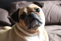 Pug Dog on a bed Royalty Free Stock Images