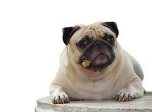 Pug dog Stock Photos