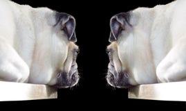 Pug dog Royalty Free Stock Photos