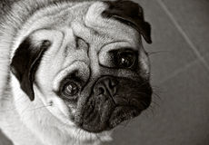 Pug dog in black and white. And his eyes wide open Stock Photography