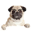 Pug Dog  with blank billboard. Dog above banner or sign. Pug dog Royalty Free Stock Photos