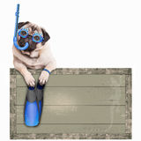 Pug dog with blue vintage wooden beach sign, with goggles, snorkel and flippers for summer, isolated on white background. Funny pug dog with blue vintage wooden Royalty Free Stock Photography