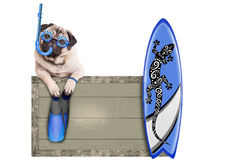 Pug dog with blue vintage wooden beach sign, with goggles, snorkel, surfboard and flippers for summer, isolated on white backgrou. Funny pug dog with blue Royalty Free Stock Images