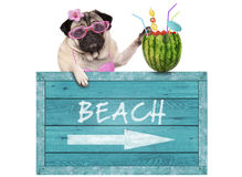 Pug dog with blue vintage wooden beach sign and watermelon cocktail, isolated on white background Royalty Free Stock Images