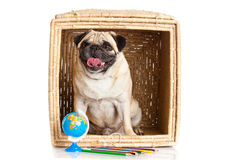 Pug dog in box isolated on white background dog earth Royalty Free Stock Photography