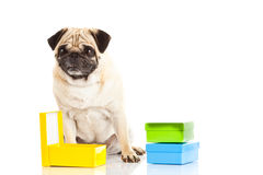 Pug dog boxes isolated on white background, gift Royalty Free Stock Image