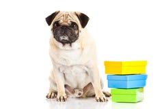 Pug dog boxes isolated on white background, gifts Stock Photo