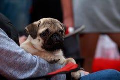 Pug dog breed Stock Images