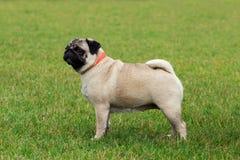 Pug dog breed Stock Photo