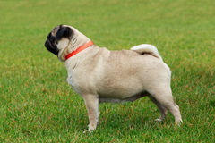 Pug dog breed Royalty Free Stock Photography