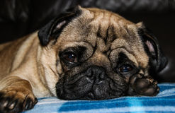 Pug Dog Breed Royalty Free Stock Images