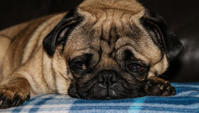 Pug Dog Breed Royalty Free Stock Image