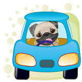Pug Dog in a car Stock Photos