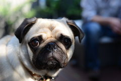 Pug Dog. Close up of a cute Pug dog Stock Images