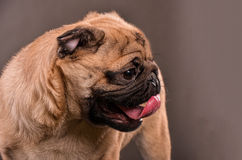 Pug dog close up Stock Photos
