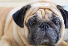 Pug Dog Royalty Free Stock Image