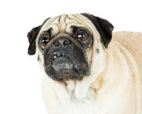 Pug Dog Closeup Looking Side and Up Royalty Free Stock Image