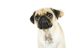 Pug Dog Closeup With Pouty Face. Pug dog with sad pouty expression looking up. White background with copy space Stock Photos