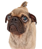 Pug Dog Closeup on White Stock Photos