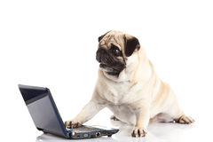 Pug dog computer isolated on white background high technology Royalty Free Stock Images