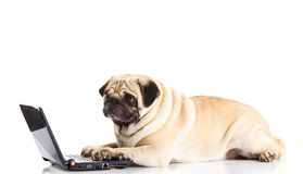 Pug dog computer isolated on white background Stock Photography