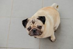 Pug dog are confusing. Cute pug dog are sitting and confusing royalty free stock photo