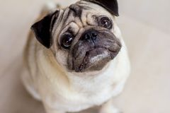 The pug dog are confusing something. Take photo portrait with pug dog stock images