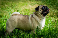 Pug dog decorative rocks. Stock Image