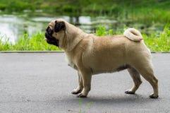Pug dog decorative rocks. Stock Images