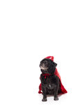 Pug Dog in devil costume. Black Pug Dog in dressed in a devil costume with a cape and horns royalty free stock image