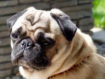 Pug, Dog, Dog Like Mammal, Dog Breed Stock Image