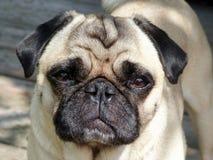 Pug, Dog, Dog Like Mammal, Dog Breed Stock Photo