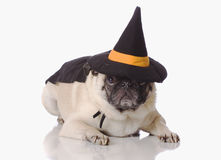 Pug dog dress up. Pug dog dressed up in a halloween witch costume Royalty Free Stock Image