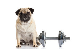 Pug dog dumbbell isolated on white background Stock Photo