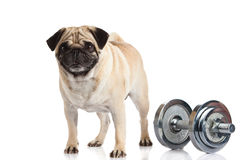 Pug dog dumbbell isolated on white background sport concept Stock Images
